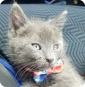 Russian Blue Kitten for adoption in Miami, Florida - Sammy