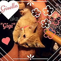 Domestic Shorthair Kitten for adoption in Vineland, New Jersey - Gisella