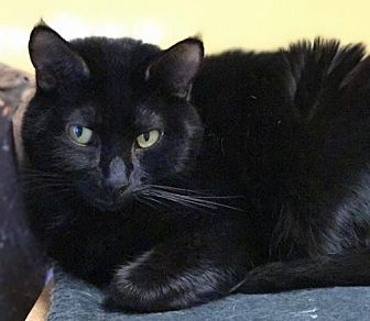 Domestic Shorthair Cat for adoption in Auburn, California - Boo
