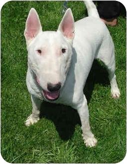 Bull Terrier Dog for adoption in Rolling Hills Estates, California - Bull Terrier