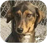 Whippet Mix Puppy for adoption in Kokomo, Indiana - Tosha