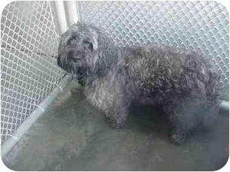 Cockapoo Dog for adoption in Manassas, Virginia - Shaggy