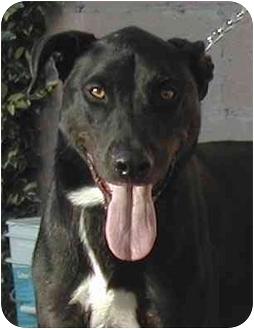 Labrador Retriever/Greyhound Mix Dog for adoption in El Segundo, California - Rogan