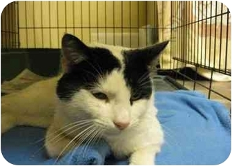 Domestic Shorthair Cat for adoption in Houston, Texas - Faust