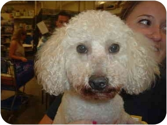 Poodle (Miniature) Mix Dog for adoption in Stafford, Virginia - Art