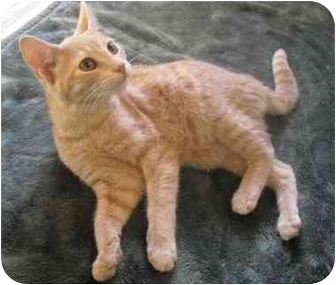 Domestic Shorthair Cat for adoption in Honesdale, Pennsylvania - Bailey
