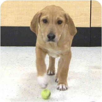 Retriever (Unknown Type)/Hound (Unknown Type) Mix Dog for adoption in McCormick, South Carolina - Linus