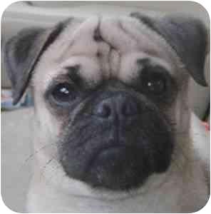 Pug Dog for adoption in Edmeston, New York - Georgie-NY