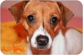 Jack Russell Terrier Mix Dog for adoption in Bay City, Michigan - Daisy~~ADOPTED 3/2011~~