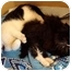 Photo 2 - Domestic Shorthair Kitten for adoption in Toronto, Ontario - Cindy