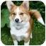 Photo 3 - Corgi/Pomeranian Mix Puppy for adoption in Ladysmith, Wisconsin - Chowder