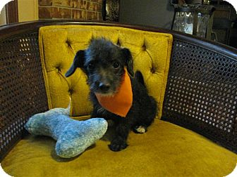 Pomeranian/Chihuahua Mix Puppy for adoption in Bedminster, New Jersey - Sebastian