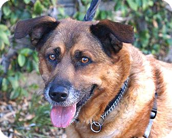 Shepherd (Unknown Type) Mix Dog for adoption in Vista, California - Major