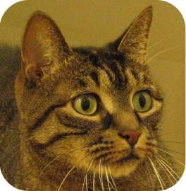 Domestic Shorthair Cat for adoption in Ithaca, New York - Petie 13951-c