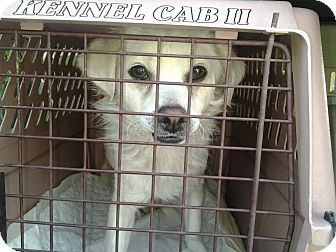 Pomeranian/Dachshund Mix Dog for adoption in Las Vegas, Nevada - Elsie