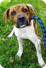 Boxer/Pointer Mix Puppy for adoption in Lincolnton, North Carolina - Birdie