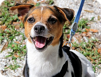 Jack Russell Terrier Mix Dog for adoption in Bradenton, Florida - Pete