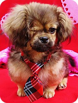 Pekingese/Poodle (Miniature) Mix Puppy for adoption in Irvine, California - Miles