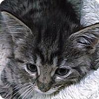 Adopt A Pet :: Pumpkin (bottle fed) - Sterling Hgts, MI
