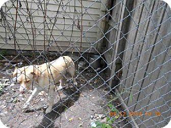 Labrador Retriever/Australian Shepherd Mix Dog for adoption in Indianapolis, Indiana - SHERMAN