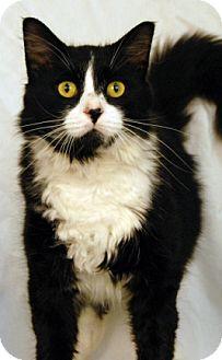 Domestic Mediumhair Cat for adoption in Newland, North Carolina - Muffins