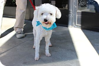Maltese/Poodle (Miniature) Mix Dog for adoption in Encino, California - Elroy