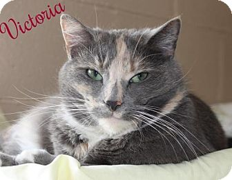 Domestic Shorthair Cat for adoption in Ocean View, New Jersey - Victoria
