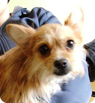 Yorkie, Yorkshire Terrier/Pomeranian Mix Dog for adoption in Kalamazoo, Michigan - Missy - Lynn S.