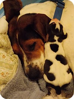 Treeing Walker Coonhound Mix Dog for adoption in South Park, Pennsylvania - Elle Mae