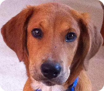 Labrador Retriever/Hound (Unknown Type) Mix Dog for adoption in Cary, North Carolina - Marley--ADOPTED