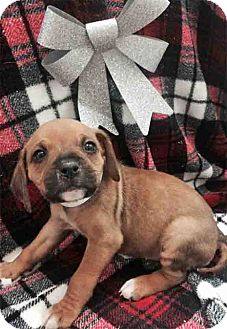 Boxer/Beagle Mix Puppy for adoption in Gahanna, Ohio - ADOPTED!!!   Hufflepuff