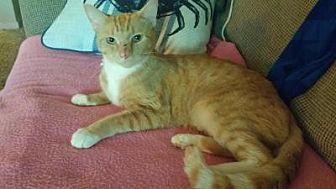 Domestic Shorthair Cat for adoption in Smyrna, Georgia - Huxley
