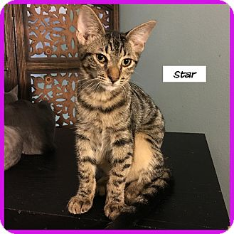Domestic Shorthair Kitten for adoption in Miami, Florida - Star