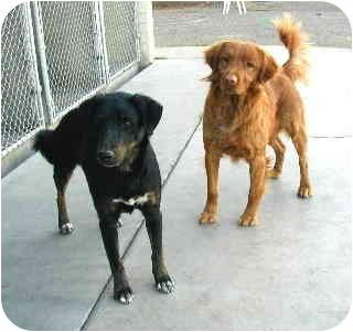 Golden Retriever Mix Dog for adoption in Scottsdale, Arizona - Rondo