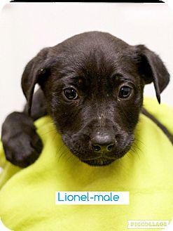 Labrador Retriever/Border Collie Mix Puppy for adoption in Spring Valley, New York - Lionel