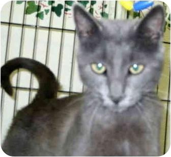 Russian Blue Cat for adoption in Alden, Iowa - Opal