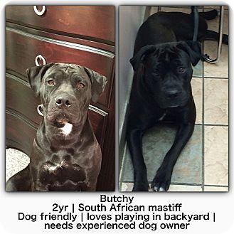 Bullmastiff Mix Dog for adoption in Mississauga, Ontario - Butchy