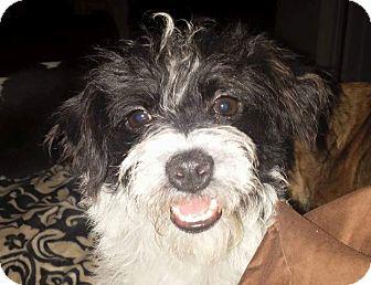Shih Tzu Mix Puppy for adoption in Sagaponack, New York - Sadie