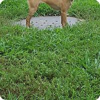 Adopt A Pet :: Bella - Fort Riley, KS