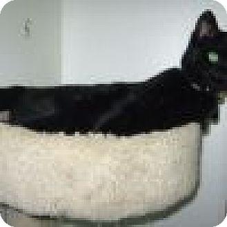 Domestic Shorthair Cat for adoption in Powell, Ohio - Nema