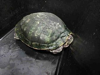 Turtle - Other for adoption in Burbank, California - FERRIS
