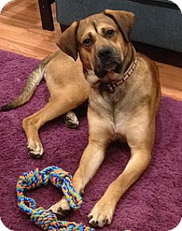 Mastiff/Hound (Unknown Type) Mix Dog for adoption in WESTMINSTER, Maryland - Big Goofy