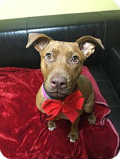 Pit Bull Terrier Mix Dog for adoption in Philadelphia, Pennsylvania - Roo
