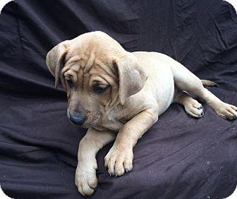 Labrador Retriever/German Shepherd Dog Mix Puppy for adoption in East Sparta, Ohio - Gia