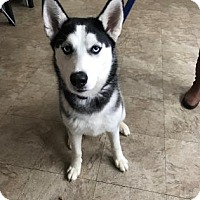 Adopt A Pet :: Sesi - FEE SPONSORED BY BARKWORTHIES! - Chicago, IL