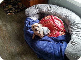 Yorkie, Yorkshire Terrier Dog for adoption in Dothan, Alabama - Cricket