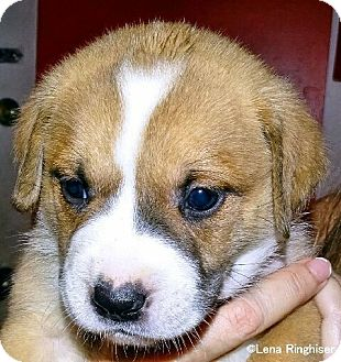 American Bulldog/Boxer Mix Puppy for adoption in West Palm Beach, Florida - Chocolate
