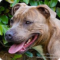 Adopt A Pet :: Koa - Westminster, CA