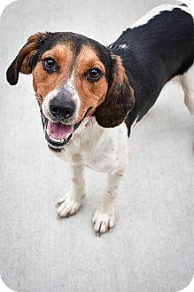 Foxhound/Hound (Unknown Type) Mix Dog for adoption in Prince George, Virginia - Buddy Boy