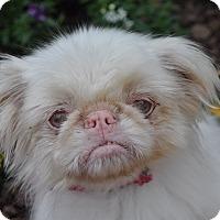Adopt A Pet :: Muffin - Atlanta, GA